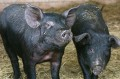 Smiling Sows, A Promise of A Good New Year!