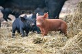 And then there were piglets!