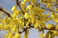 Forsythia is Blooming!