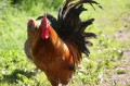 Red Rooster, Now Strut Your Stuff
