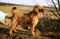 Flynn the Irish Terrier