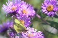Sulphur Butterfly and Fall Asters