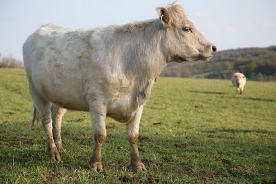 White+French+Cow+in+Catskills1 Do You Know The Difference Between a Beef Cow and a Dairy Cow?