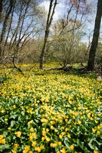 Marsh Marigold at Valley Stream State Park-10-2